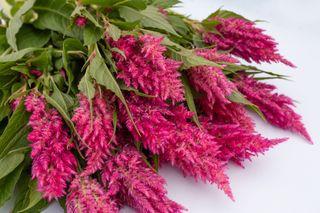 Nevadlec Sunday Bright Pink, Loukykvět