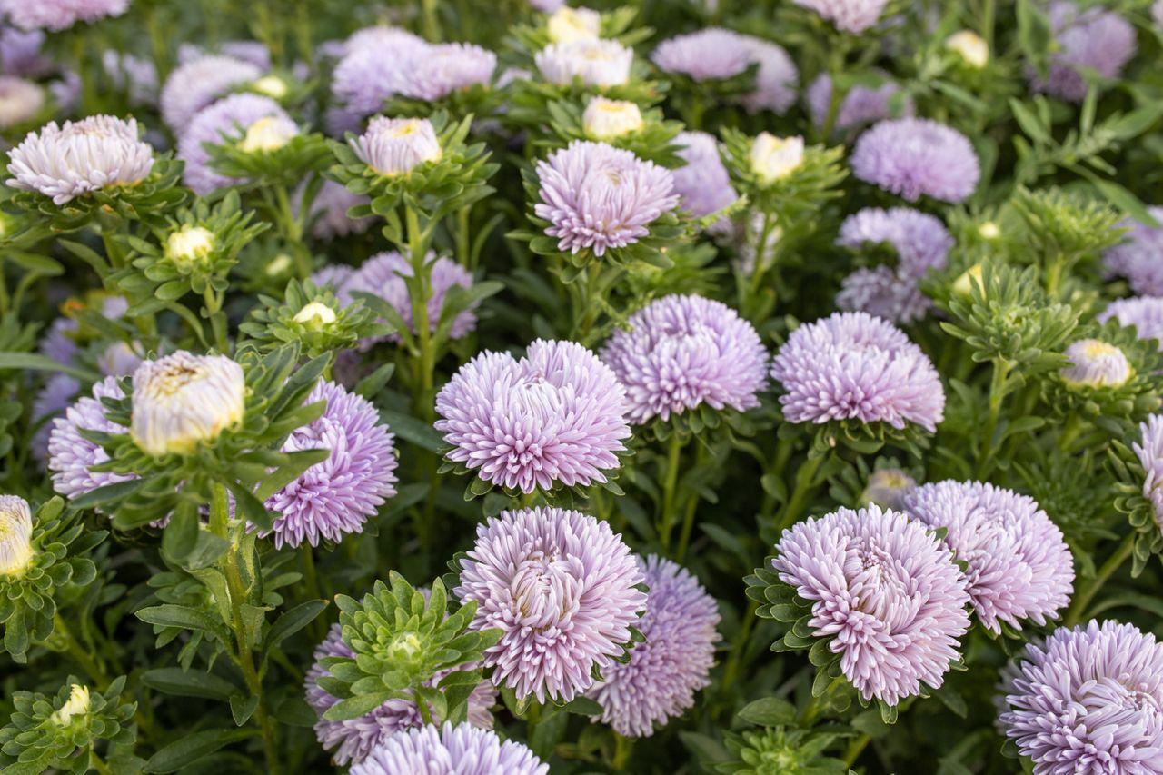 Astra Lady Coral Lavender, Loukykvět