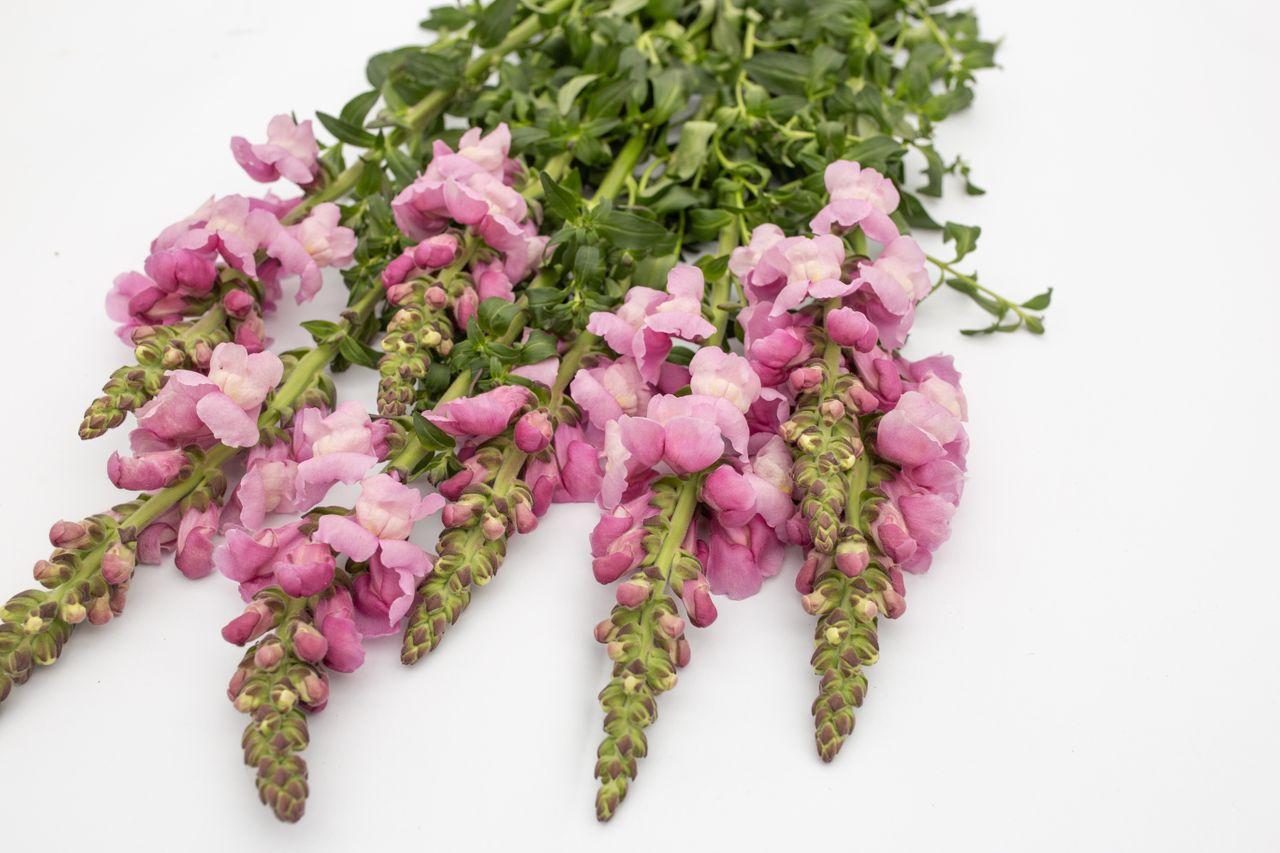 Hledík Maryland Lavender, Loukykvět