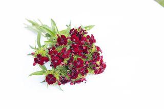 Hvozdík Sweet Black Cherry, Loukykvět