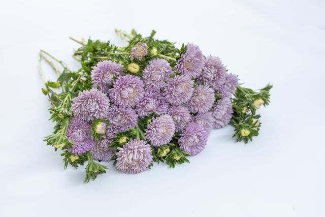 Astra Lady Coral Lavender