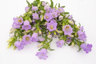 Zvonek Champion Lavender, Loukykvět