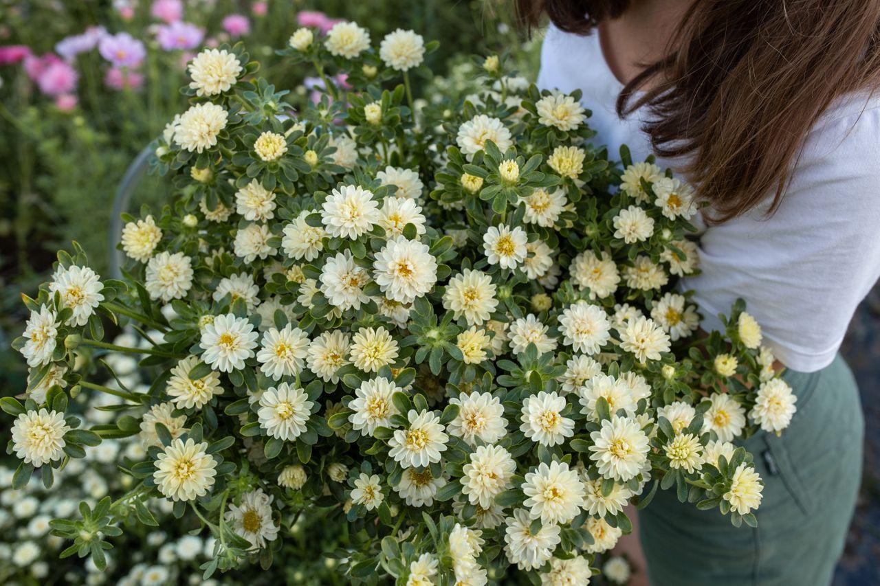 Astra Serenade Yellow, Loukykvět
