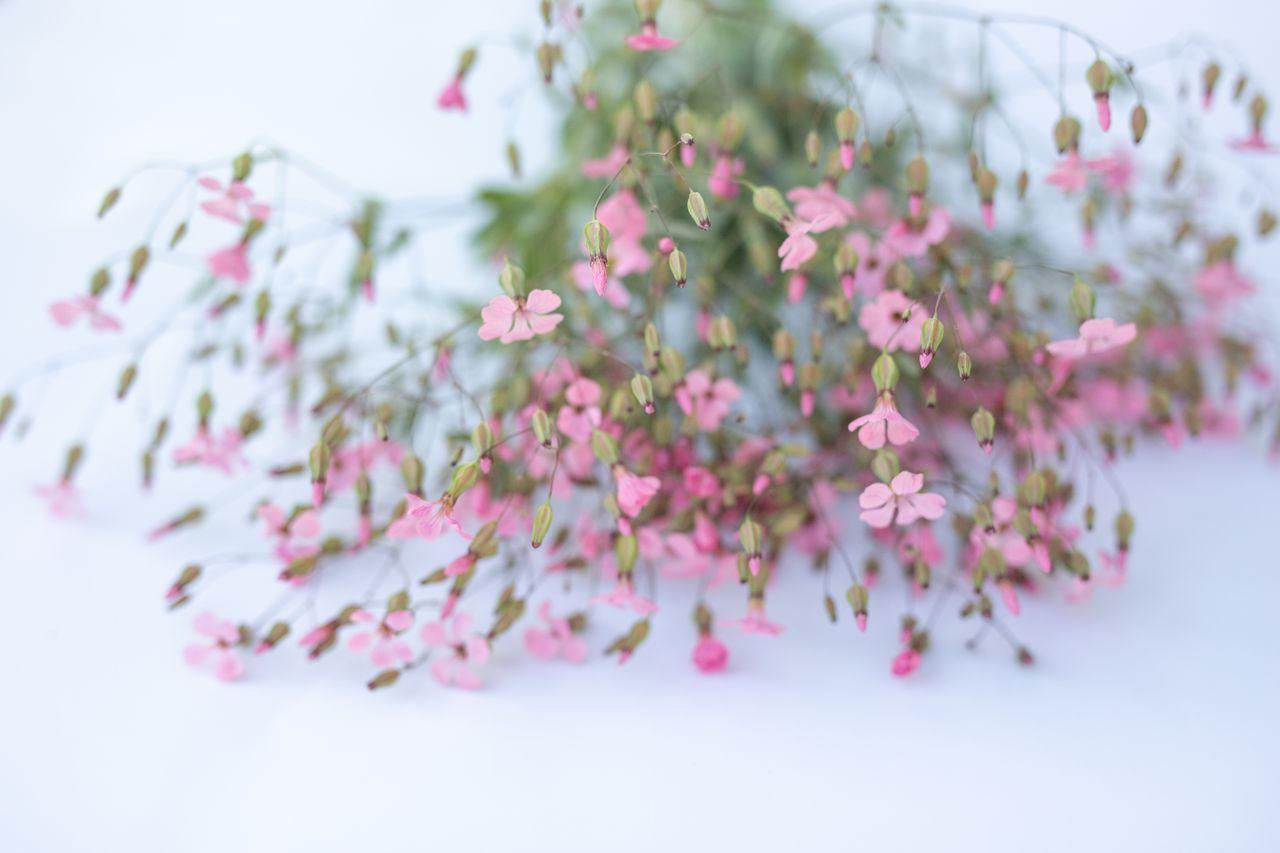 Kravinec Růžový, Loukykvět