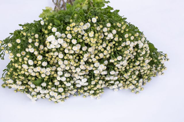 Řimbaba Crown White