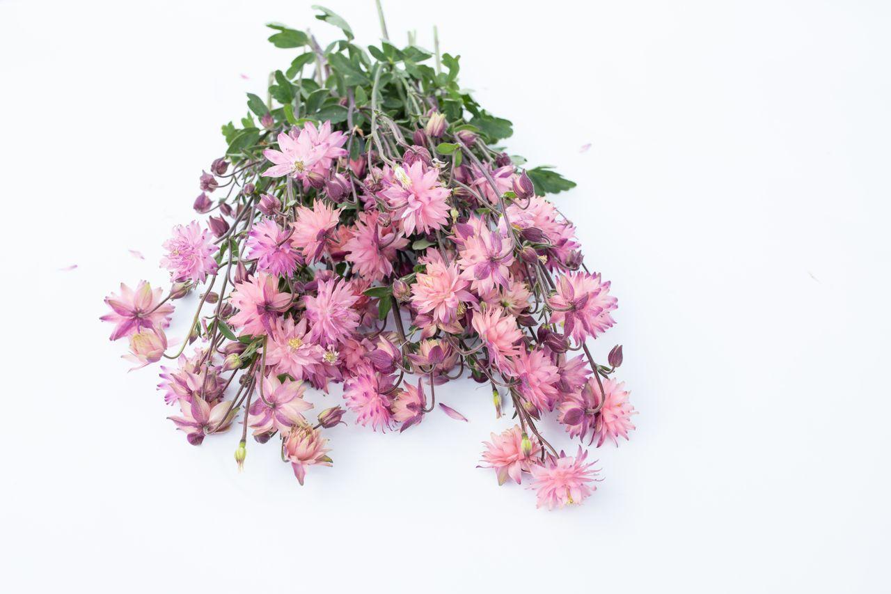 Orlíček Rose Barlow, Loukykvět