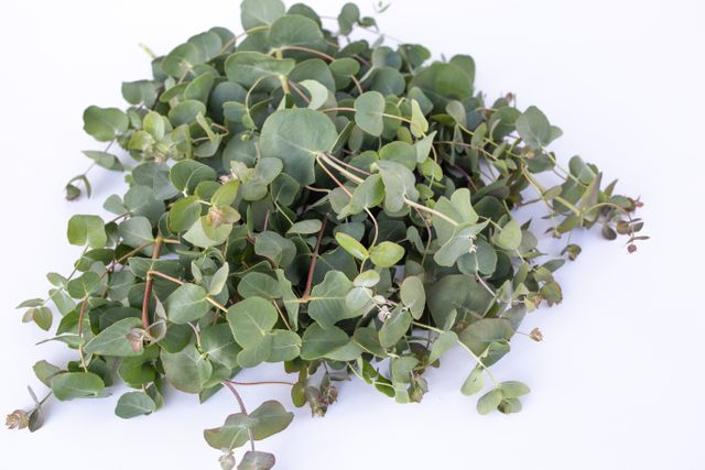 Eukalyptus parvula Small Leaved Gum