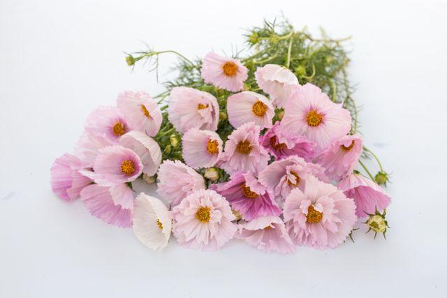 Krásenka ′Cupcakes Blush′
