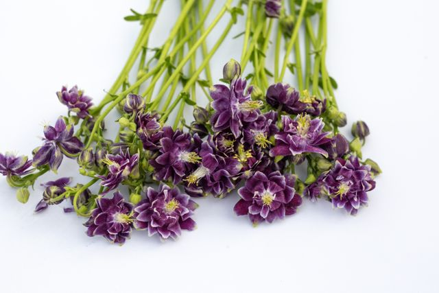 Orlíček Purple Barlow