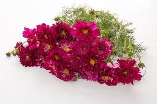 Krásenka Double Click ′Cranberries′, Loukykvět