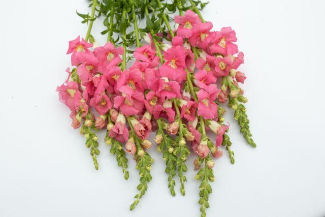 Hledík Chantilly Pink