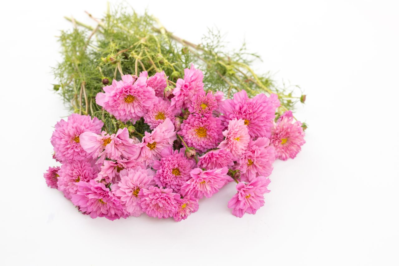 Krásenka Double Click ′Rose BonBon′, Loukykvět