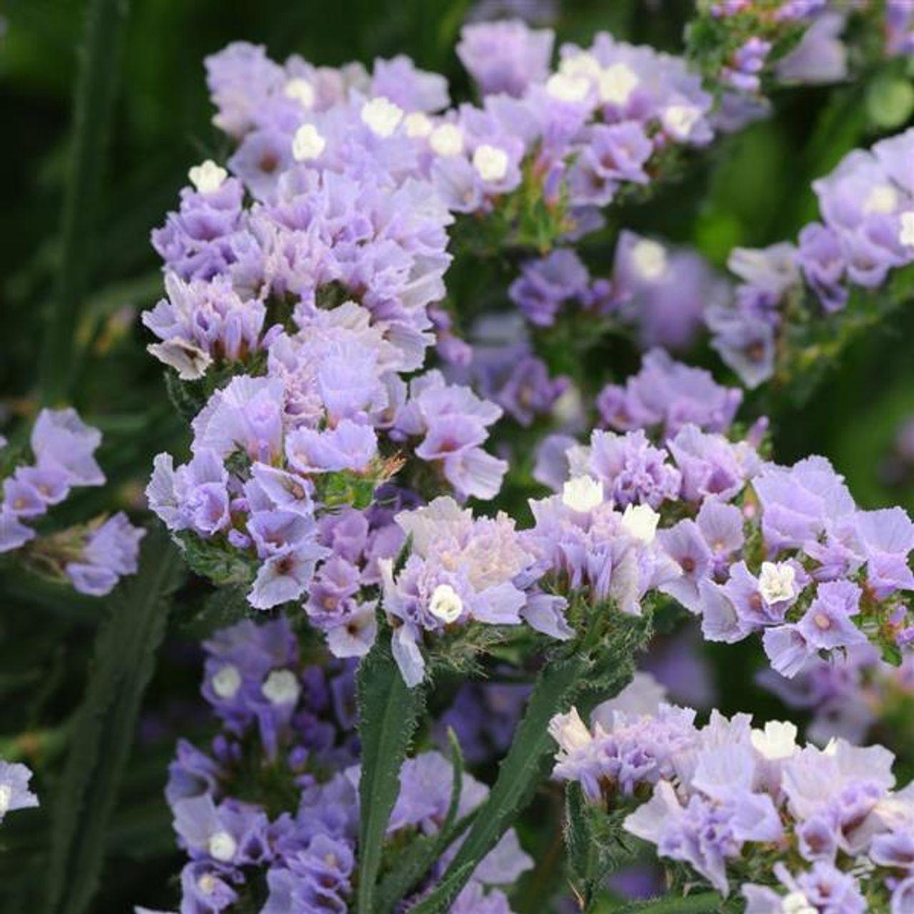 Statice QIS Lavender, Loukykvět