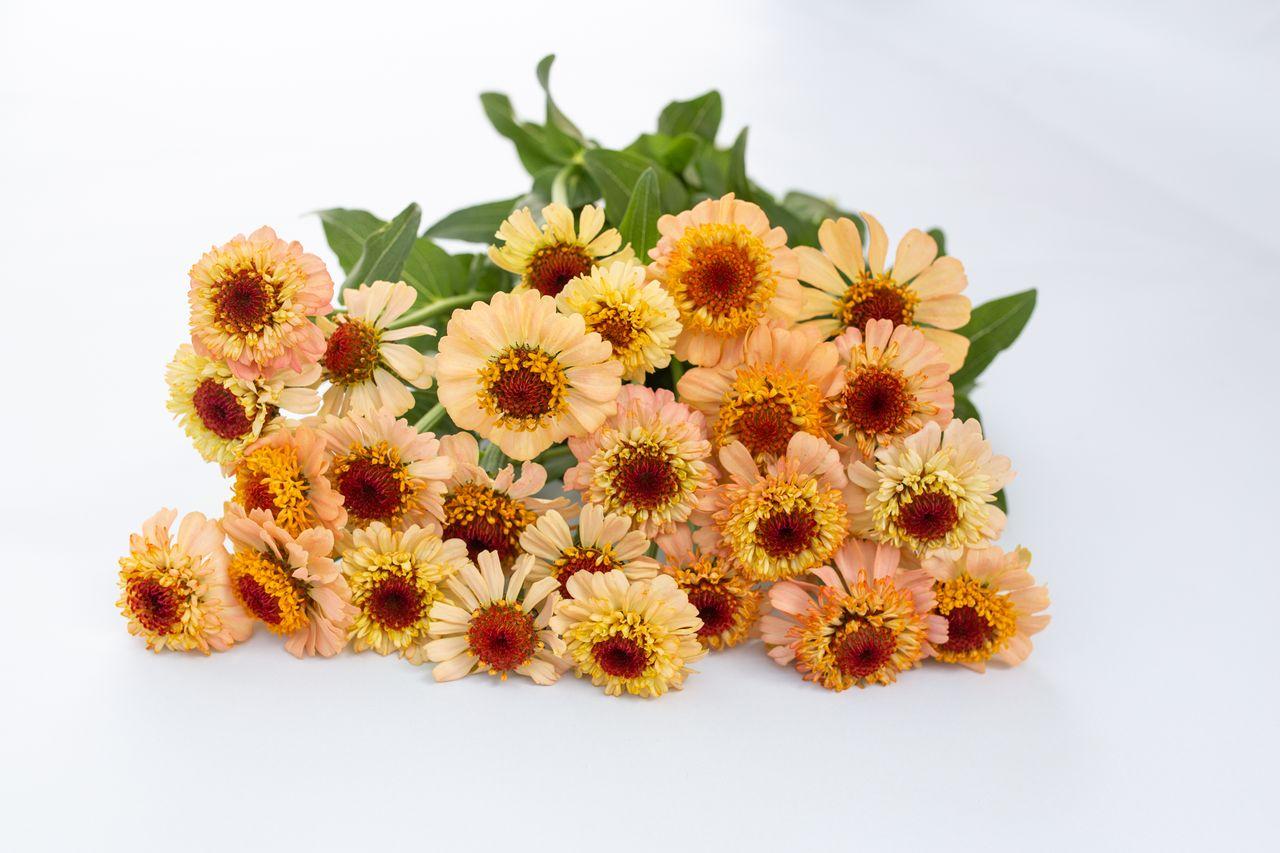 Cínie Zinderella Peach, Loukykvět