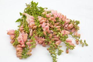 Náprstník Dalmatian Peach, Loukykvět