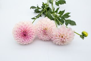 Jiřina Pink Silk, Loukykvět