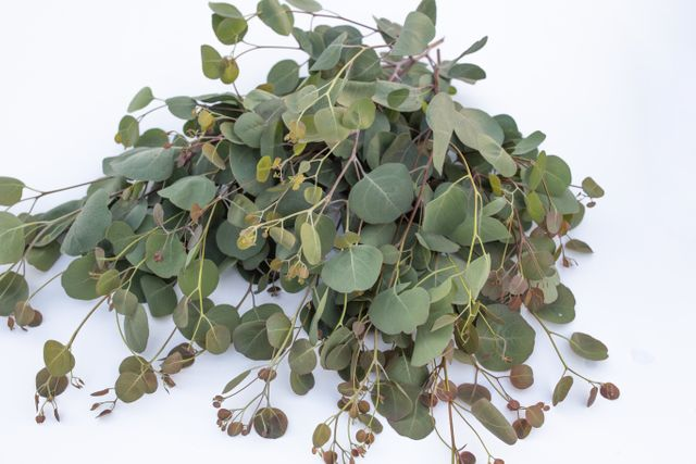 Eukalyptus Polyanthemos