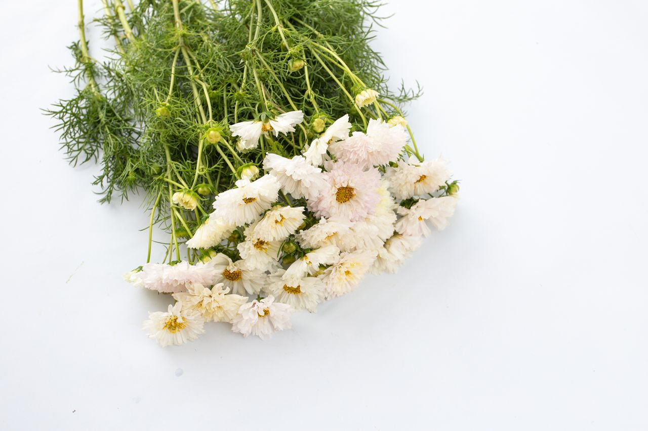 Krásenka Doubleclick 'Snow Puff', Loukykvět