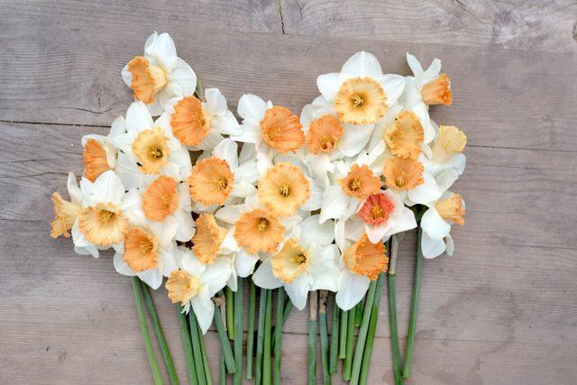 Narcis Pink Blush, Loukykvět