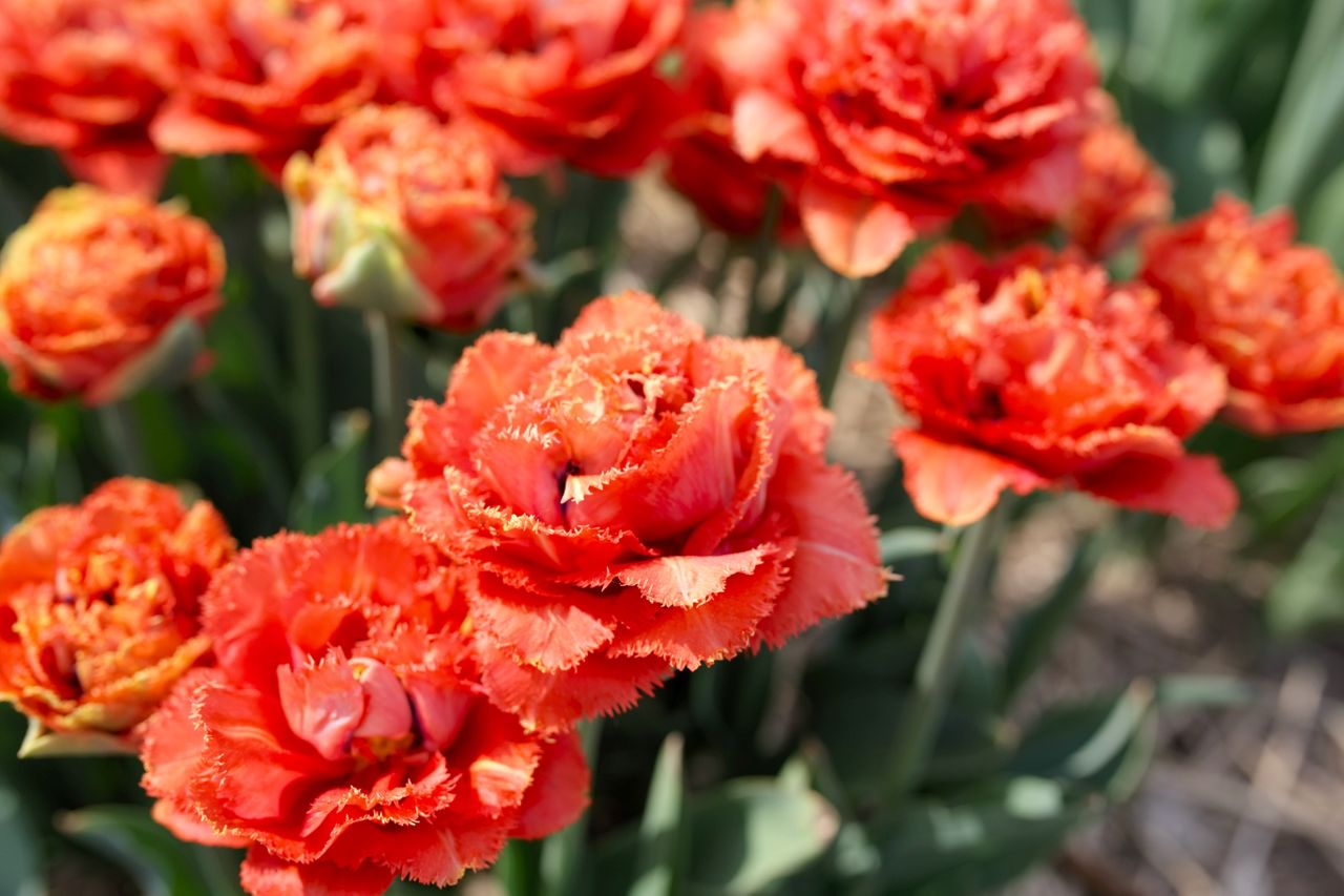 Tulipán Sensual Touch, Loukykvět