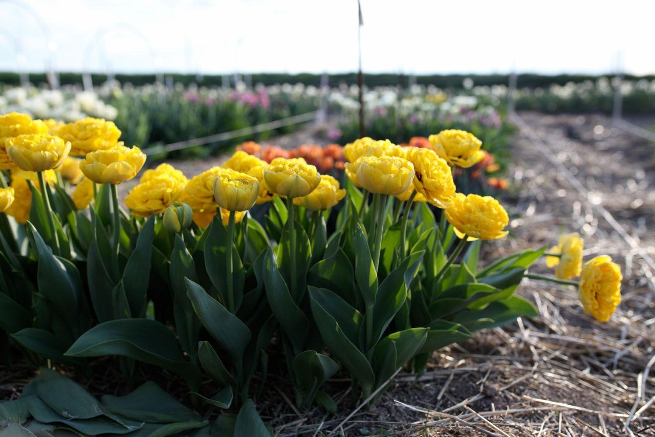 Tulipán Yellow Pomponette, Loukykvět