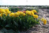 Tulipán Yellow Pomponette
