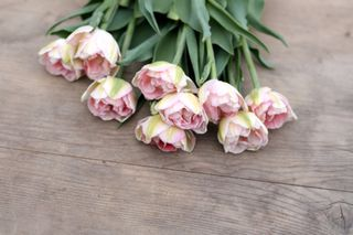 Tulipán Angélique, Loukykvět