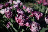 Tulipán Ragebol