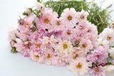 Krásenka Doubleclick 'Bicolor Pink'
