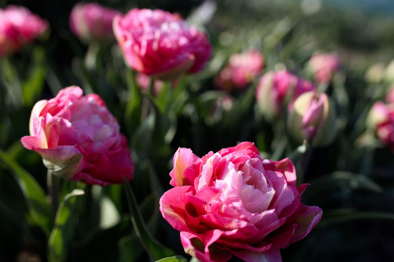 Tulipán Double Sugar, Loukykvět