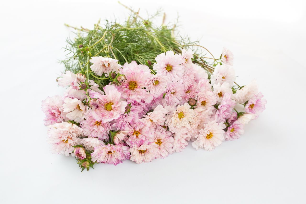 Krásenka Doubleclick 'Bicolor Pink', Loukykvět