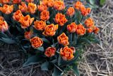 Tulipán Orange Princess