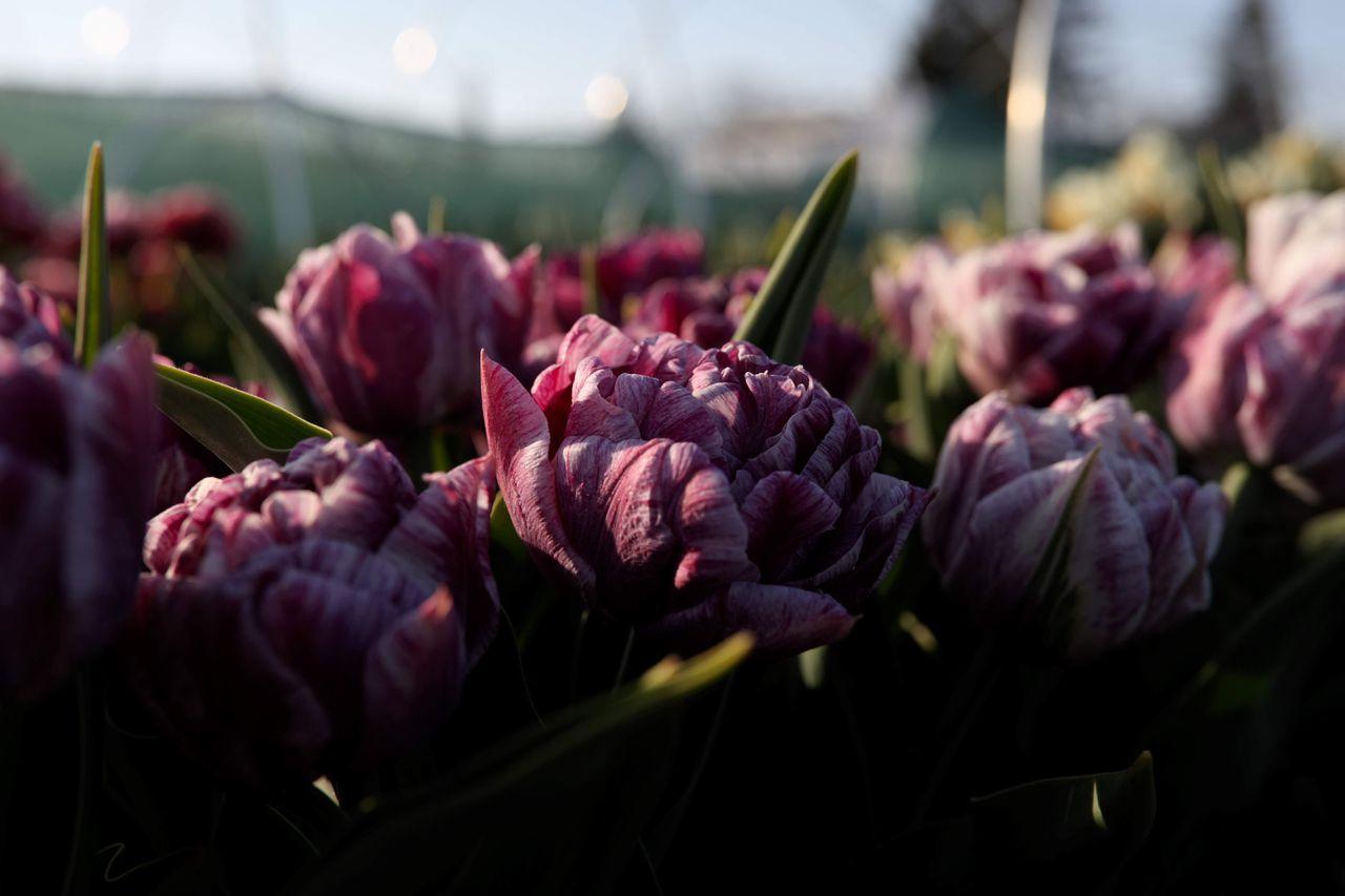 Tulipán Ragebol, Loukykvět