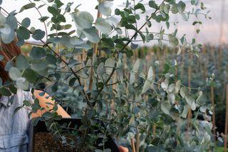 Velký eukalyptus v květináči, Loukykvět