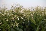 Tabákovník Grandiflora
