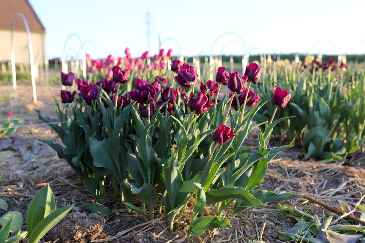 Tulipán Victoria's Secret, Loukykvět