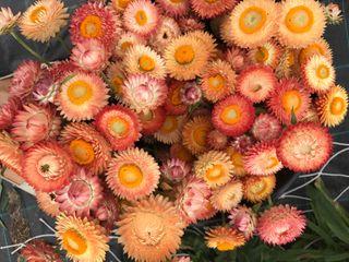 Slaměnka Salmon Rose, Loukykvět