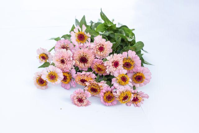 Cínie Zinderella Lilac
