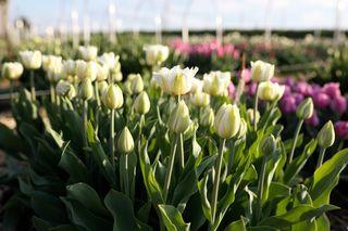 Tulipán Mount Tacoma, Loukykvět