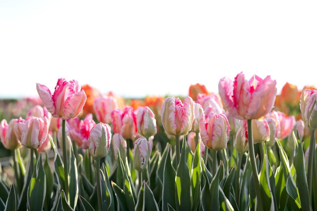 Tulipán Silver Parrot, Loukykvět