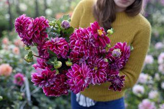 Jiřina Purple Pearl, Loukykvět