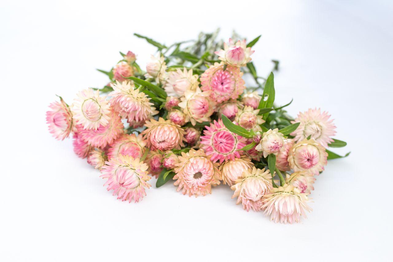 Slaměnka stříbřitě růžová, Loukykvět