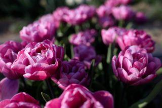Tulipán Rosy Diamond, Loukykvět