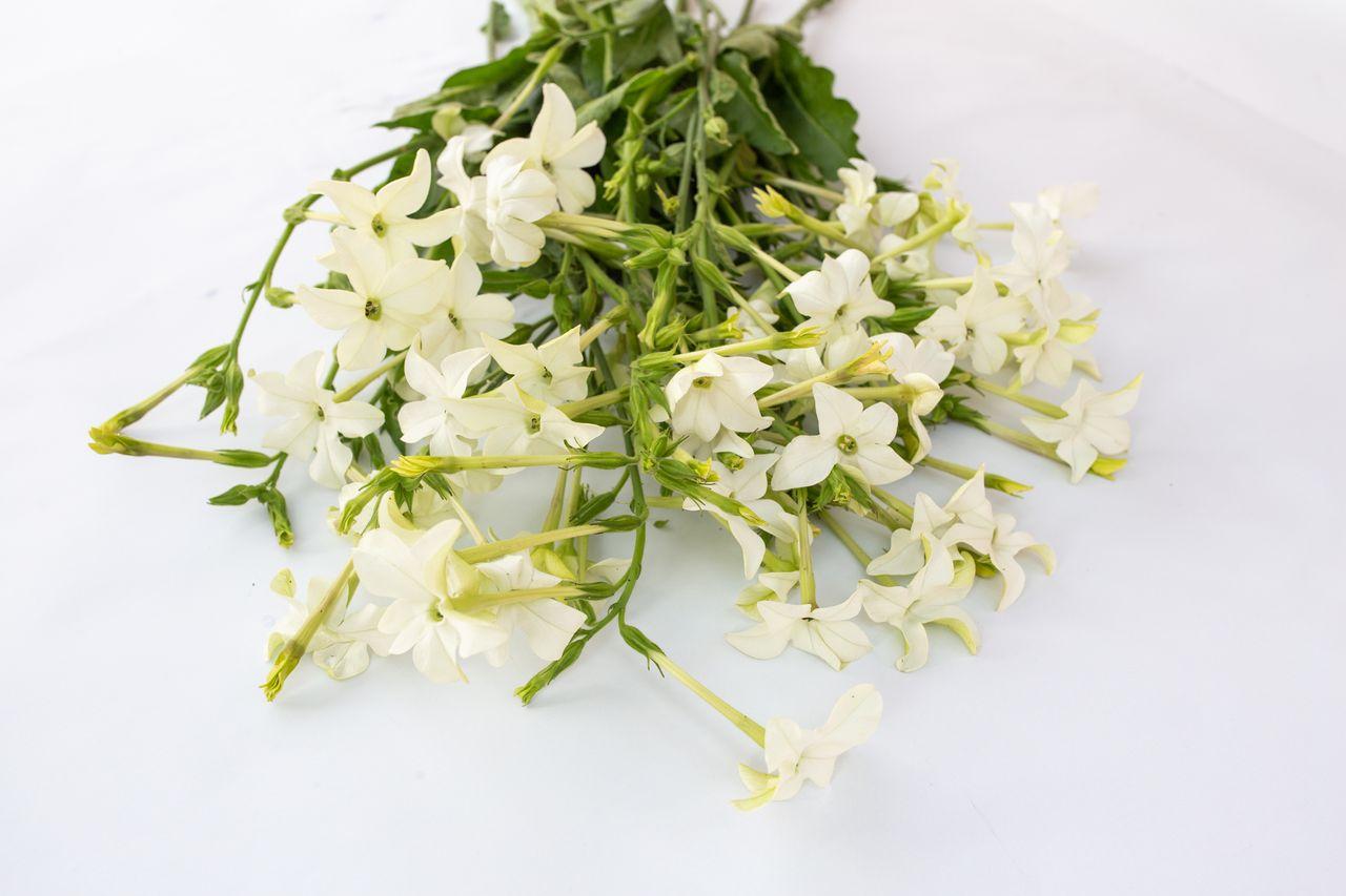 Tabákovník Grandiflora, Loukykvět
