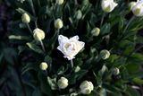 Tulipán Mount Tacoma