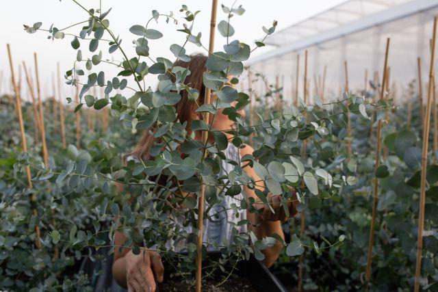 Velký eukalyptus v květináči