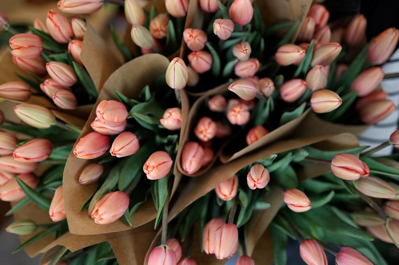 Tulipán Apricot Impression, Loukykvět
