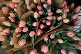 Tulipán Apricot Impression