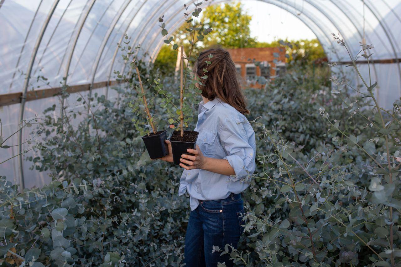 Střední eukalyptus v květináči, Loukykvět