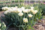 Tulipán Verona